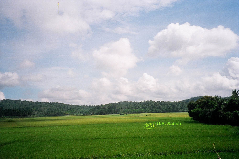 Mananthawady, Wayanad, Kerala, India, paddy fields, rice fields, uasatish,