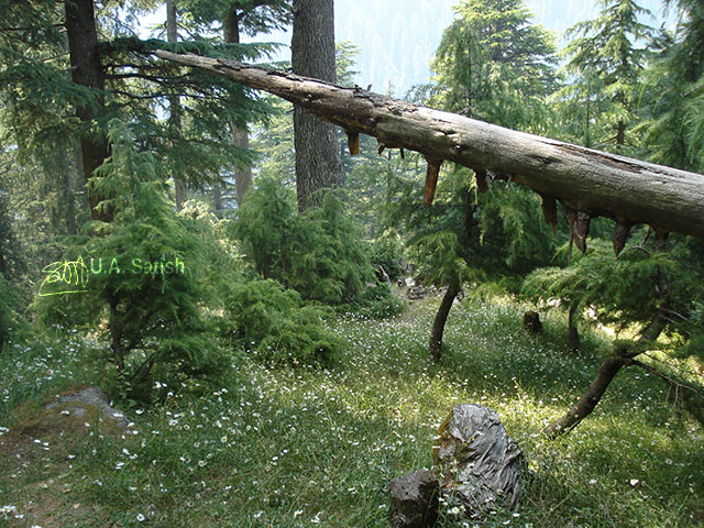 Himalayan Cedars; Dalhousie; Himachal Pradesh; nature; outdoor; travel; trees; flowers; uasatish;