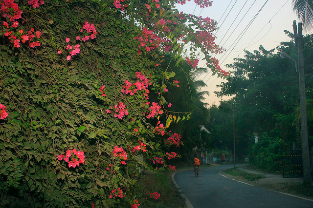 Bougainvillea; Mumbai; Vasai; flower; outdoor; travel; uasatish; India;