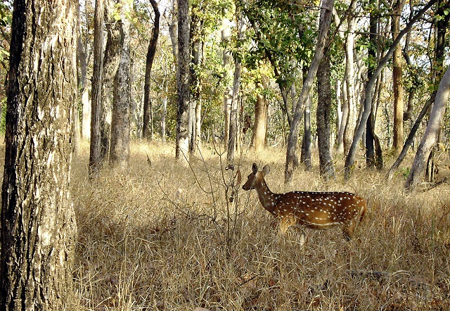 Pench, National Park, Madhya Pradesh, India, outdoor, travel, uasatish, deer,