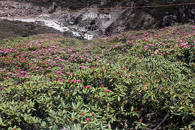 Sikkim; India; flowers; mountain slope; uasatish;