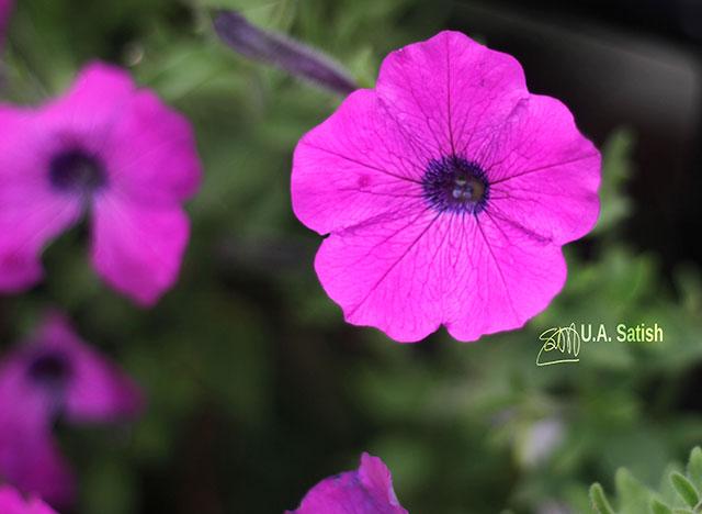 Petunia; flower; Namchi; Sikkim; India; temple complex; Solophok Hills; uasatish;