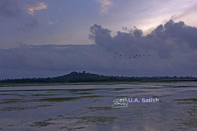 Flamingos; Vasai; birds; India; Mumbai; uasatish;