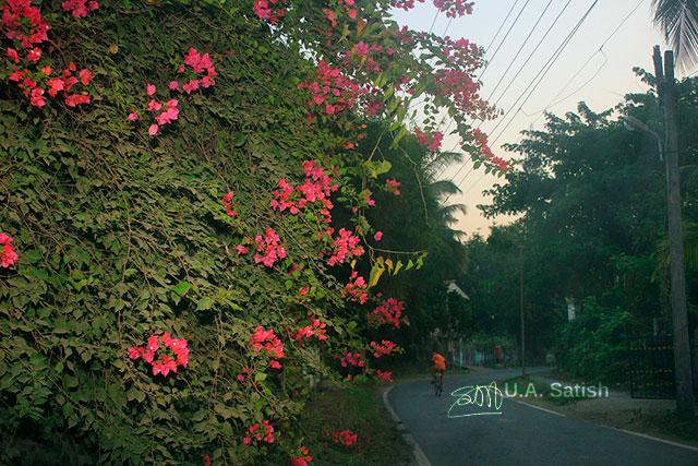 Bougainvillea; Vasai; Mumbai; India; flowers; road; uasatish;