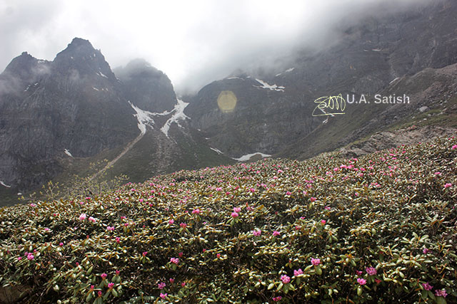 Rhododendrons; flowers; mountain slope; Sikkim; India; uasatish;