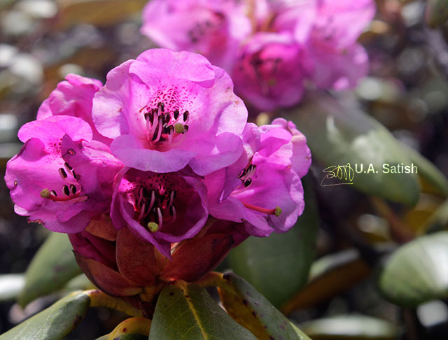 Rhododendrons; flowers; Sikkim; India; uasatish;