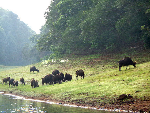 Kerala; Thekkady; India; gaur; lake; forest; uasatish;