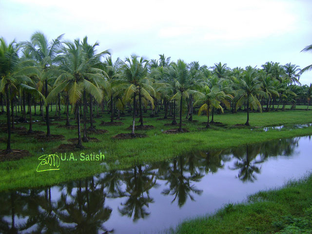 Kerala; coconut trees; India; water; grass; sky; uasatish;