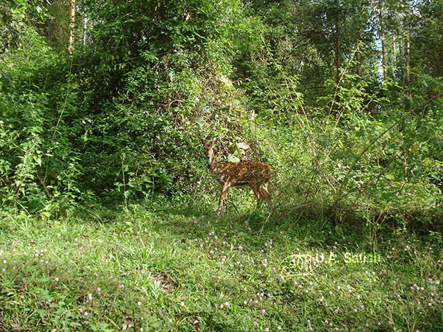 Kerala; Wayanad; forest; deer; uasatish;