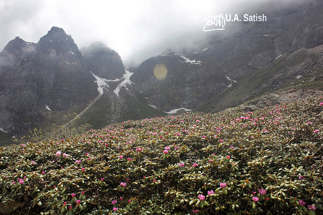 Rhododendrons; flowers; Sikkim; street; mountainside; uasatish; mountain;