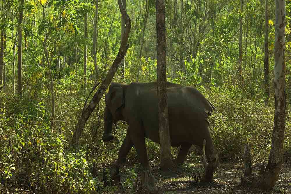 Wild Elephant; sharper photos; uasatish;