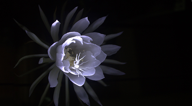 uasatish, India, Vasai, Queen of the Night, flower,