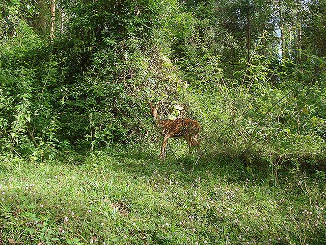 uasatish, India, Kerala, Wayanad, deer;