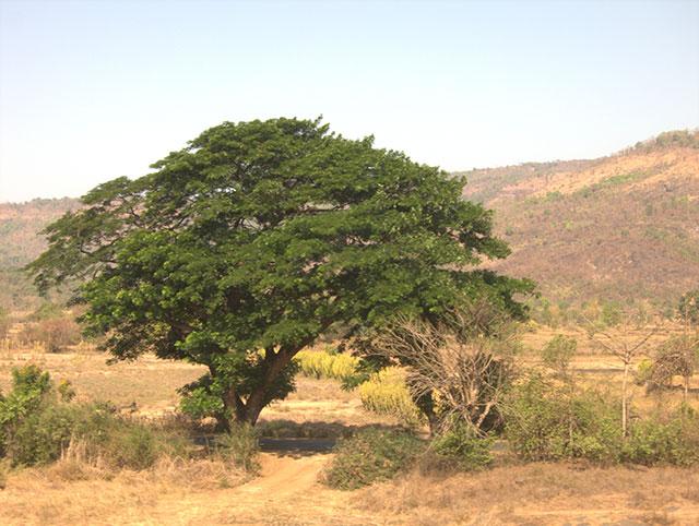 uasatish, tree, green, india, Konkan,