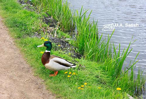 duck; Netherlands; Zaanse Schans; outdoors; water; uasatish; https://uasatish.com; Zaandam;