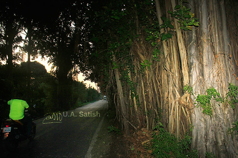 Banyan Tree; tree; road; leaves; sky; outdoor; Vasai; Mumbai; India; uasatish; https://uasatish.com;