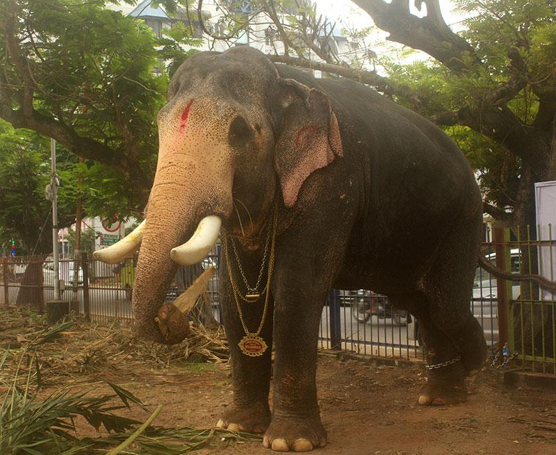 Ernakulathappan Temple; Ernakulam; Kochi; Kerala; India; elephant; outdoor; uasatish; https://uasatish.com;