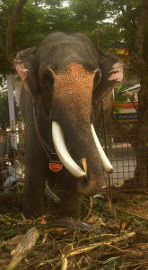 elephant; Kerala; India; Uttoly Mahadevan; outdoor; uasatish; https://uasatish.com;
