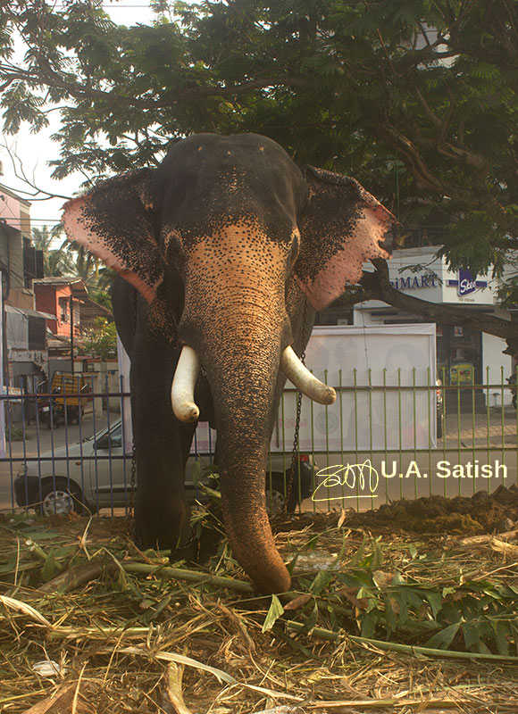 elephant; tusker; Kochi; Ernakulam; India; outdoor; uasatish; https://uasatish.com;