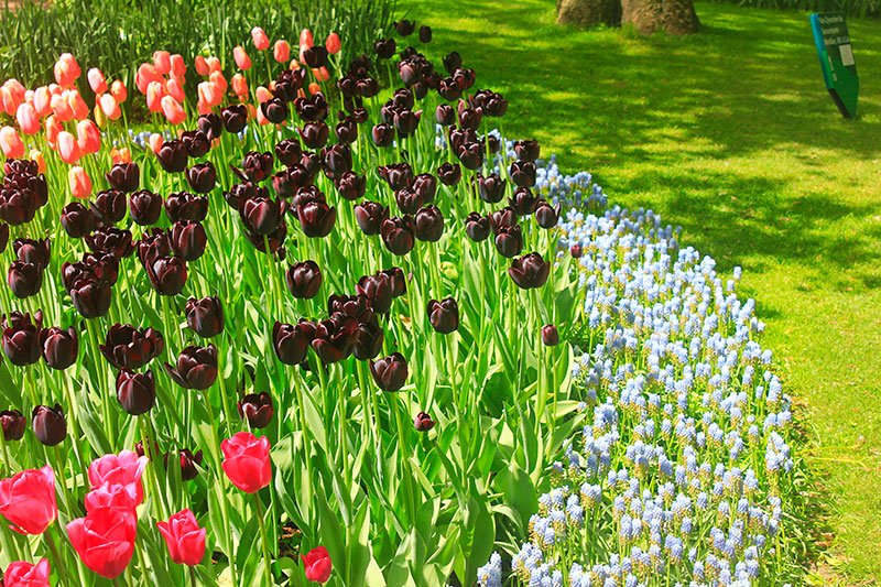 tulips; Keukenhof; Netherlands; outdoor; flowers; uasatish; https://uasatish.com