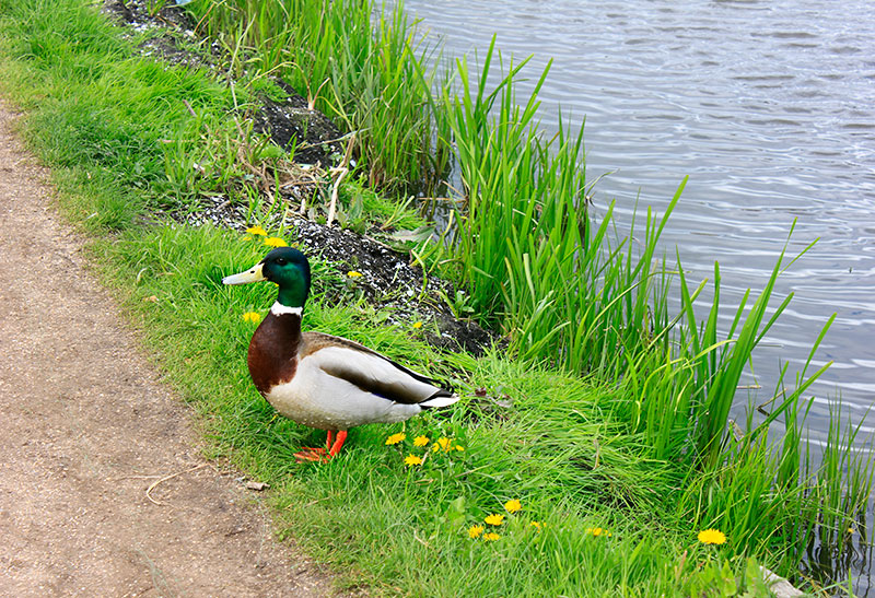 duck; Netherlands; Zaanse Schand; outdoor; uasatish;