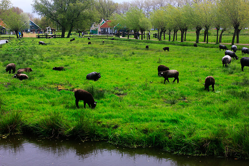 Zaanse Schans; goats; Netherlands; outdoor; uasatish;