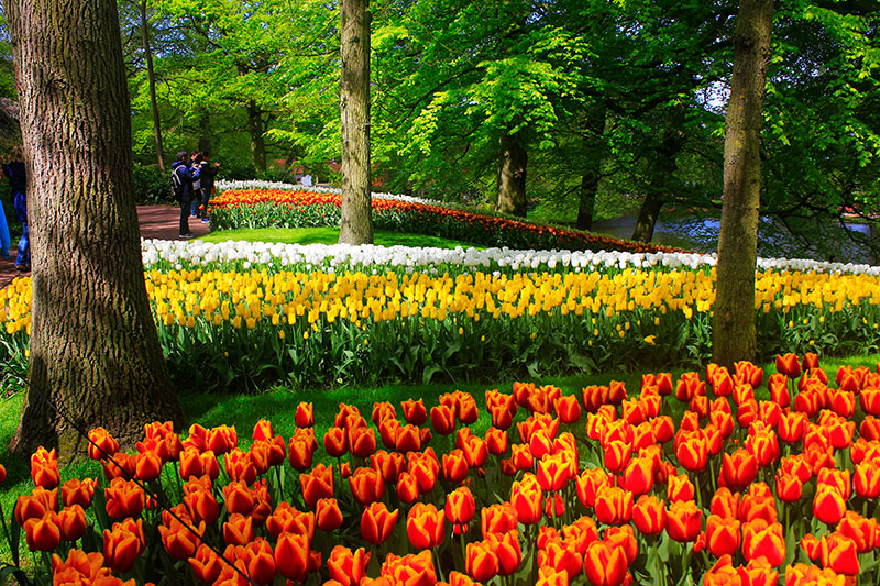 tulips; Keukenhof; Netherlands; outdoor; flowers; uasatish; https://uasatish.com; gardens;