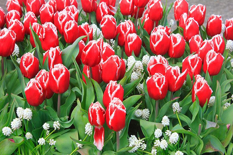 tulips; Keukenhof; Netherlands; outdoor; flowers; uasatish; https://uasatish.com