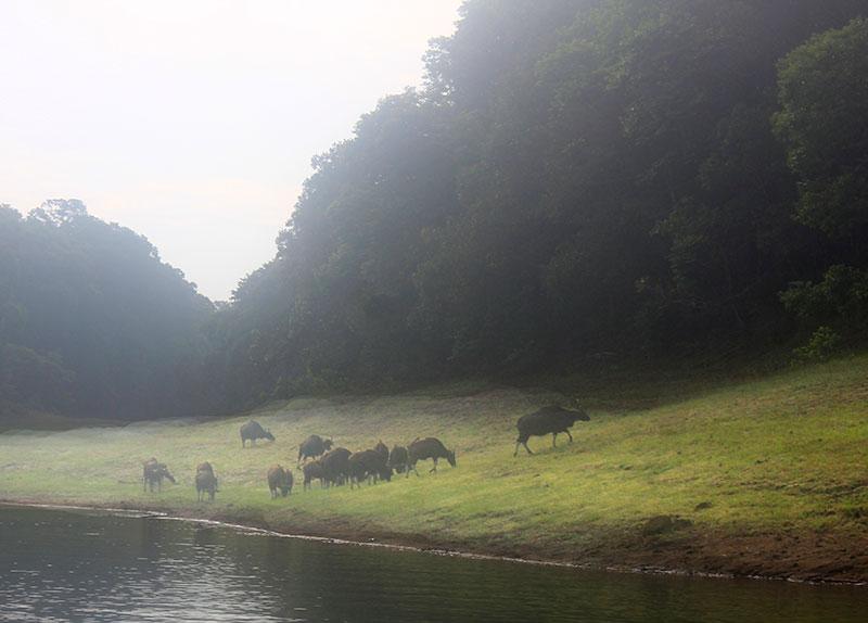 Periyar Lake; Thekkady; Kumily; Kerala; outdoor; travel; India; uasatish; gaur; Indian bison;