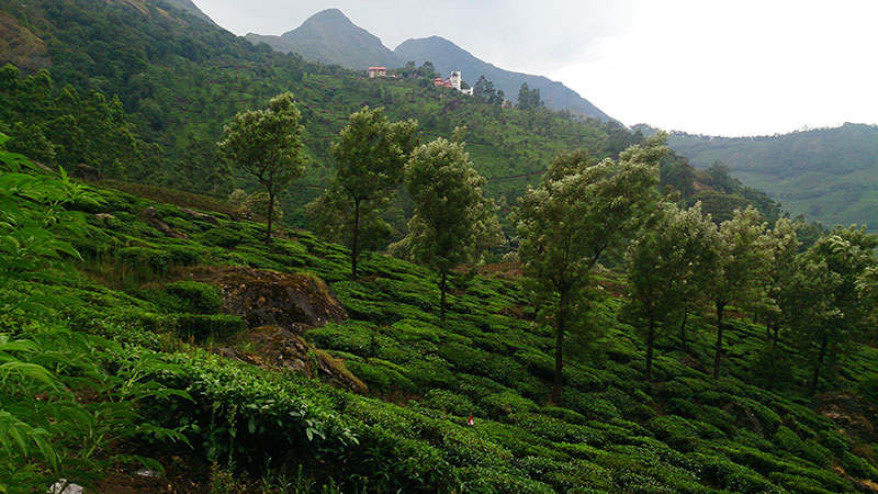Tea Garden; Munnar; Kerala; India; outdoor; mountains; hills; travel; uasatish; trees;