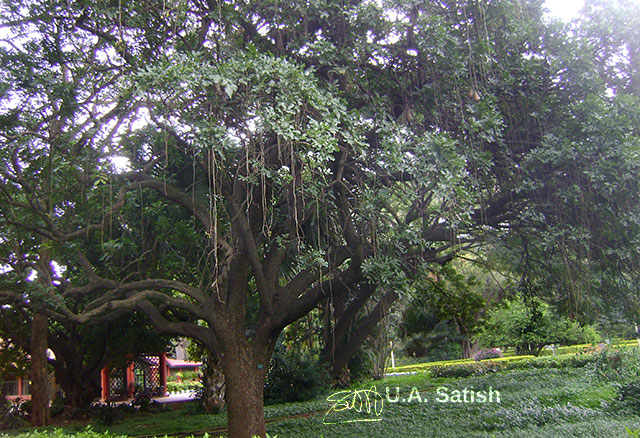 Sausage Tree; Lalbhag; India; Bangalore; gardens; tree; outdoor; travel; uasatish;
