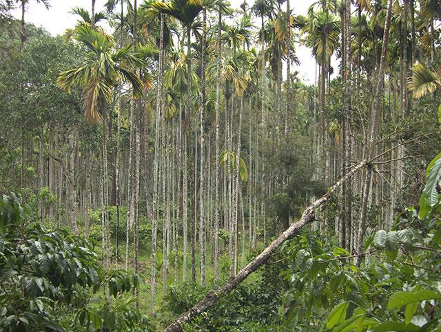 Arecanut trees; Punchavayal; Wayanad; Kerala; India; outdoor; trees; uasatish;