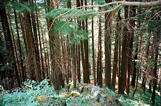 Kalatope Forest; Dalhousie; Himachal Pradesh; India; travel; outdoor; nature; trees; uasatish;