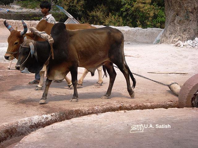 lime mortar; bulls; Mandu; Madhya Pradesh; India; travel; outdoor; uasatish;