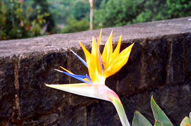 Bird of Paradise; Ooty; Tamil Nadu; India; flower; outdoor; travel; uasatish;