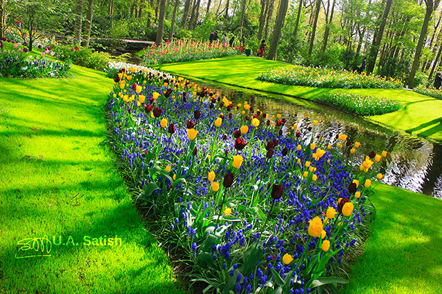 tulips; gardens; Keukenhof; Lisse; Netherlands; flowers; outdoor; travel; uasatish;
