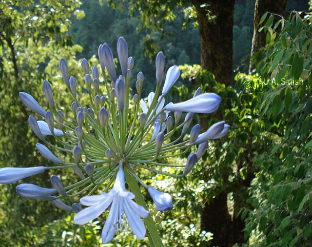 Blue Agapanthus; African Lily; Dalhousie; Himachal Pradesh; outdoor; travel; uasatish;