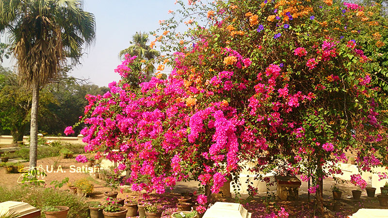 Hill Palace; Tripunithura; Kerala; India; Bougainvillea; flowers; outdoor; travel; uasatish;
