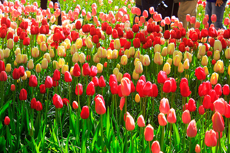 Tulips; Keukenhof; Netherlands; garden; outdoor; flowers; travel; uasatish;
