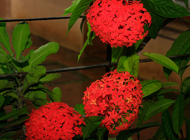 Ixora Coccinea; flower; Mumbai; Vasai; India; uasatish;