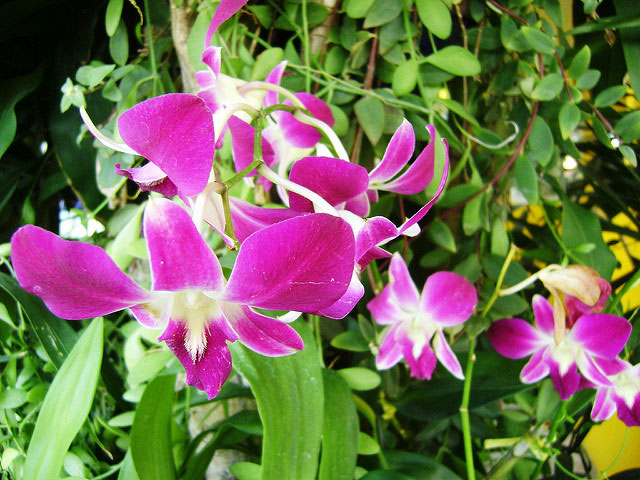 Orchids; flowers; Thailand; outdoor; uasatish; travel;