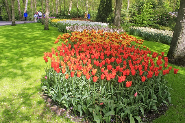 Keukenhof Tulip Gardens; Lisse; Netherlands; Holland; Netherlands; tulips; flowers; outdoor; travel; nature; uasatish;