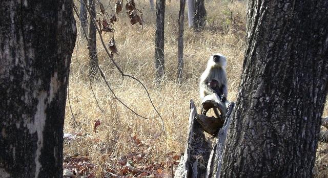 Pench, National Park, Madhya Pradesh, India, outdoor, travel, uasatish, monkys,
