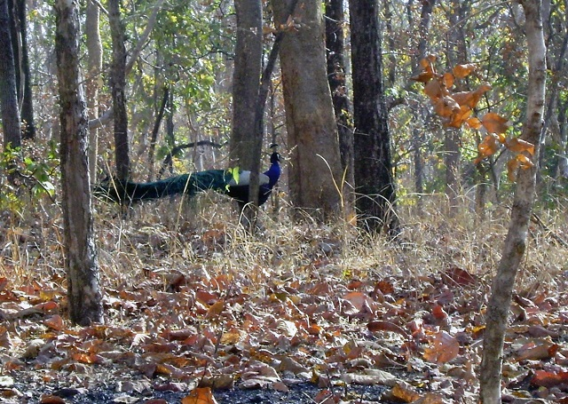 Pench, National Park, Madhya Pradesh, India, outdoor, travel, uasatish, peacock,