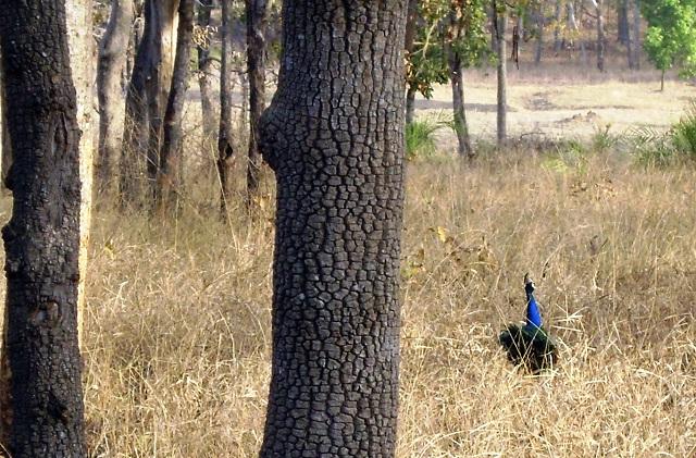 Pench, National Park, Madhya Pradesh, India, outdoor, travel, uasatish, peahen,