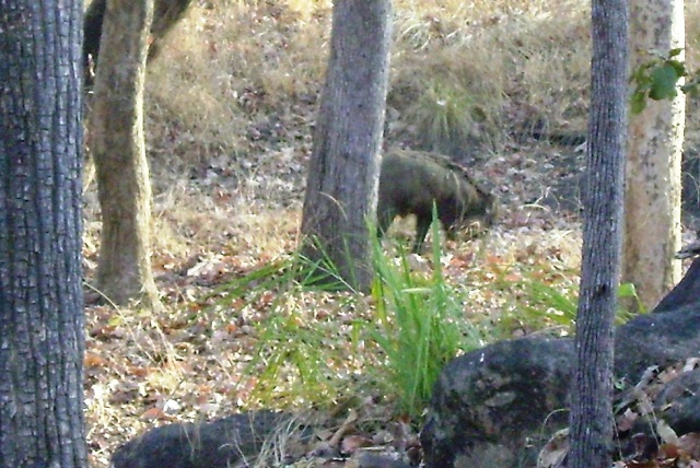 Pench, National Park, Madhya Pradesh, India, outdoor, travel, uasatish, wild boar,