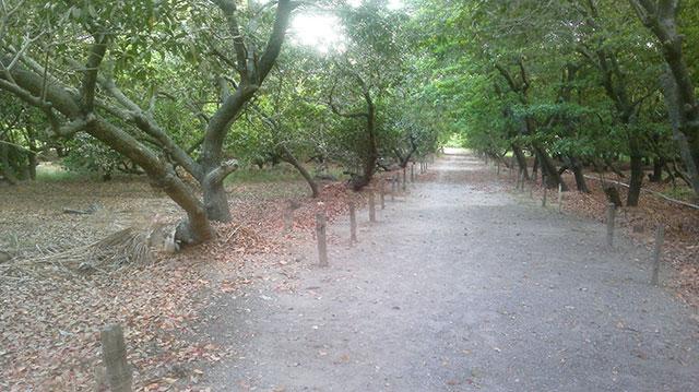 Gholvad; Maharashtra; India; uasatish; outdoor; chikko; orchard;
