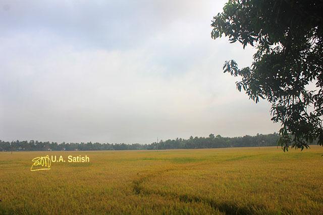 rice field; Kuttanad; Alapuzha; Kerala; India; agriculture; outdoor; uasatish;