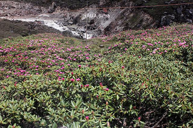 Sikkim; India; flowers; mountain slope; uasatish;