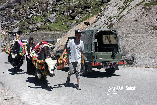 Sikkim; India; Yaks; road; uasatish; Maruti Gypsy;